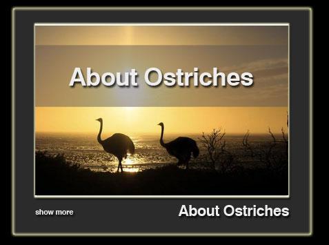 about-ostriches-en