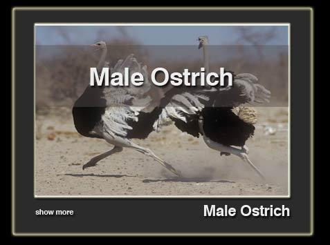 male-ostrich-en