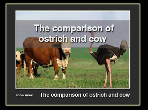 tafavote-cow-ba-ostrich-en